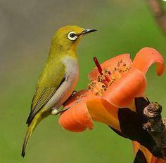 23   Japanese White Eye 相思