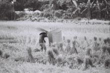 Threshing rice, Pui O, Lantau, 1970s