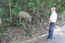 Wild boar near Aberdeen reservoir