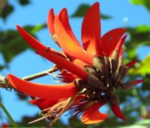 erythrina caffra flower bundle.jpg