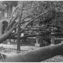 Uprooted trees - 1923