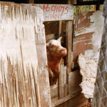 Pig in Ma Hang Squatter area, late 1970s in Stanley-crop-levels