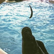 Feeding a seal at Ocean Park (1980)
