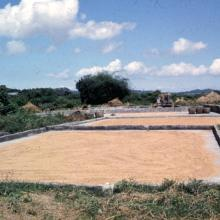 Kam Tin drying rice
