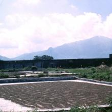 Kam Tin drying paddy