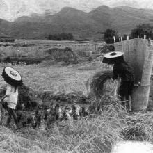 Hacka women harvesting rice.