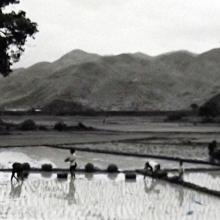 PADDY FIELDS ON THE WAY TO TAI PO TSAI
