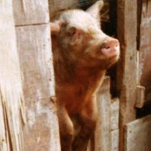 Close-up of pig in Ma Hang squatter area